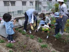 ミニトマト植え付け